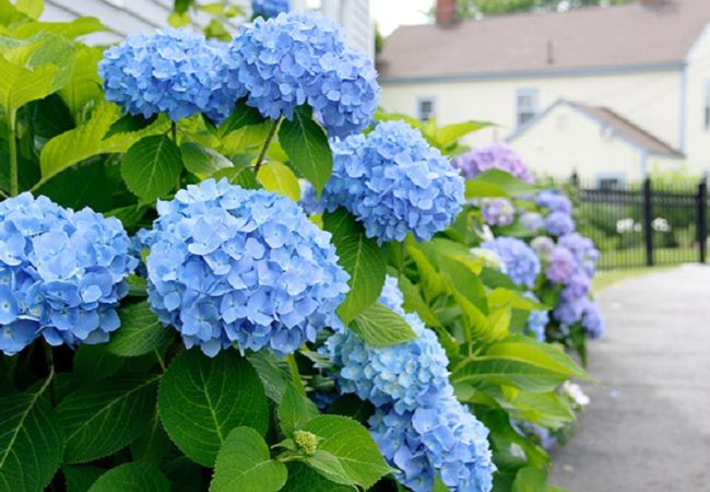 Blue hydrangeas care