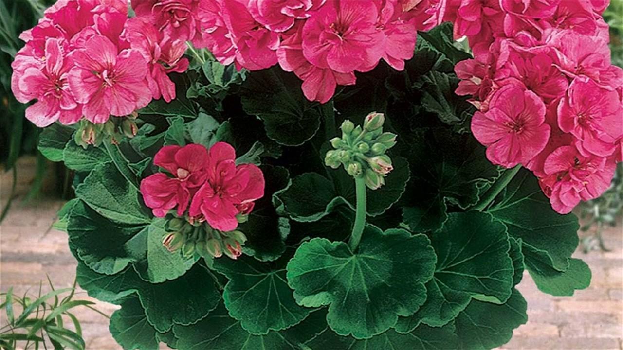 Geraniums care