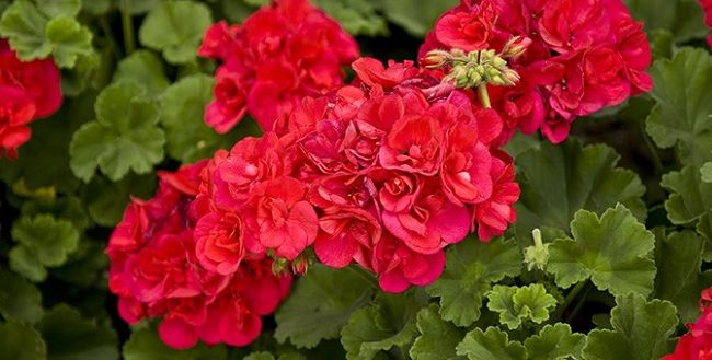 how to care for geraniums