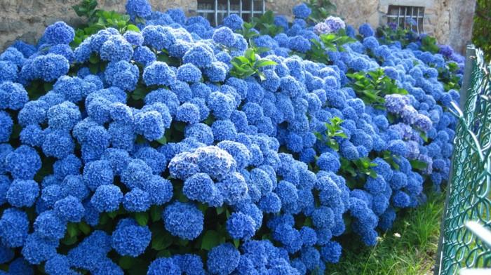 locate blue hydrangeas