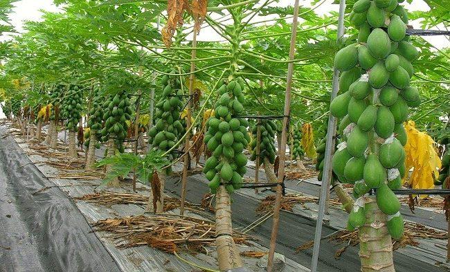 How to plant papaya
